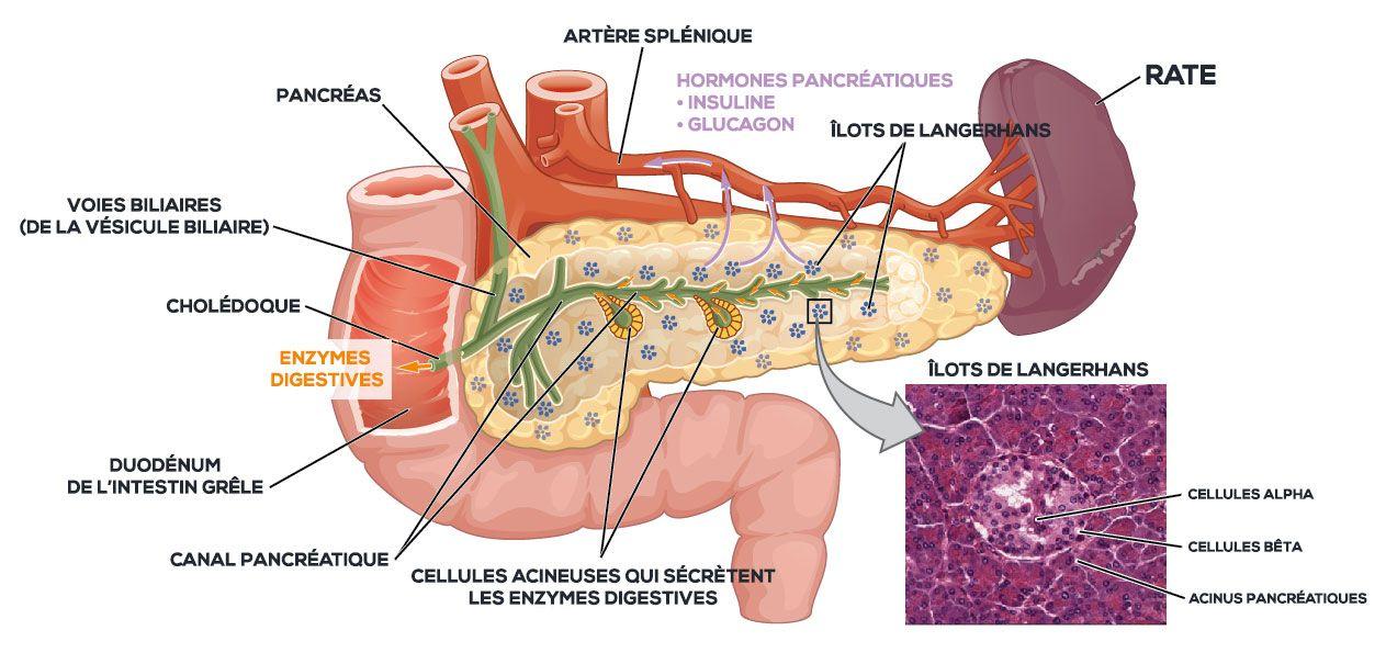 Coupe transversale d'un pancréas