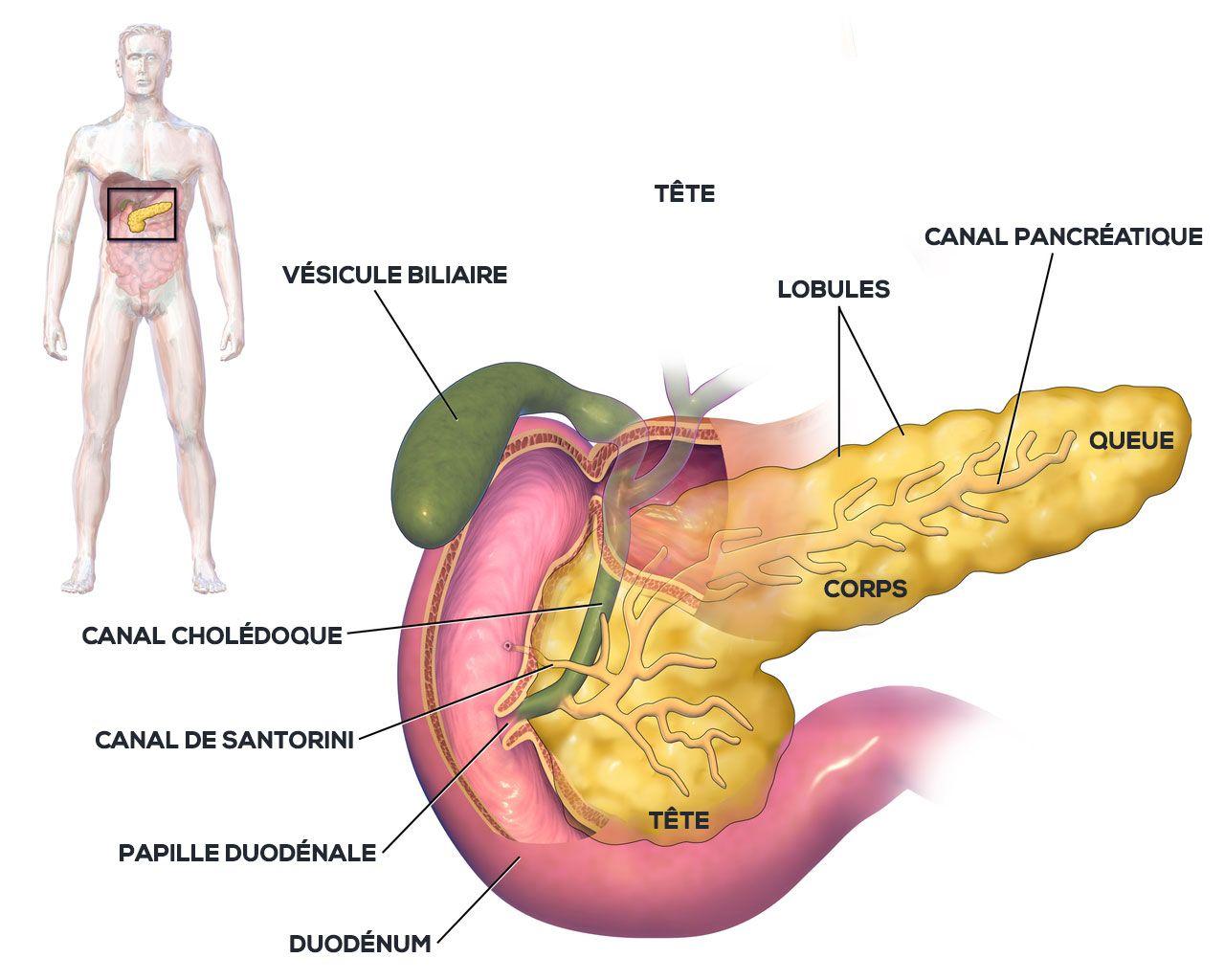 Anatomie du pancréas