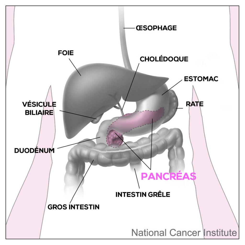 Le pancréas et les organes proches